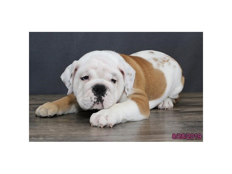 English Bulldog-Female-Fawn / White-2445124-Petland Lewis Center