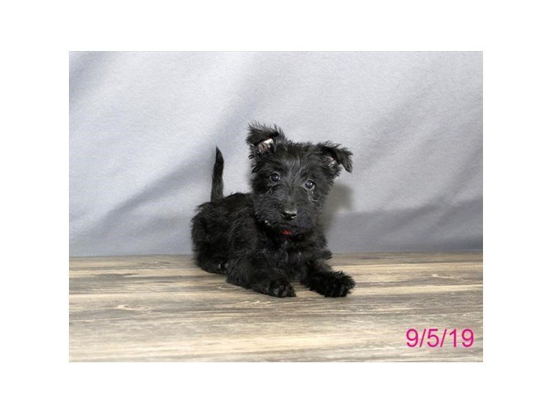 Scottish Terrier-Female-Black-2451069-Petland Lewis Center
