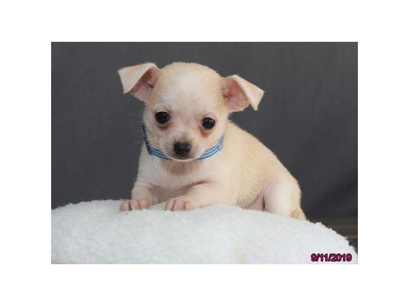 Chihuahua-Male-Cream-2457601-Petland Lewis Center