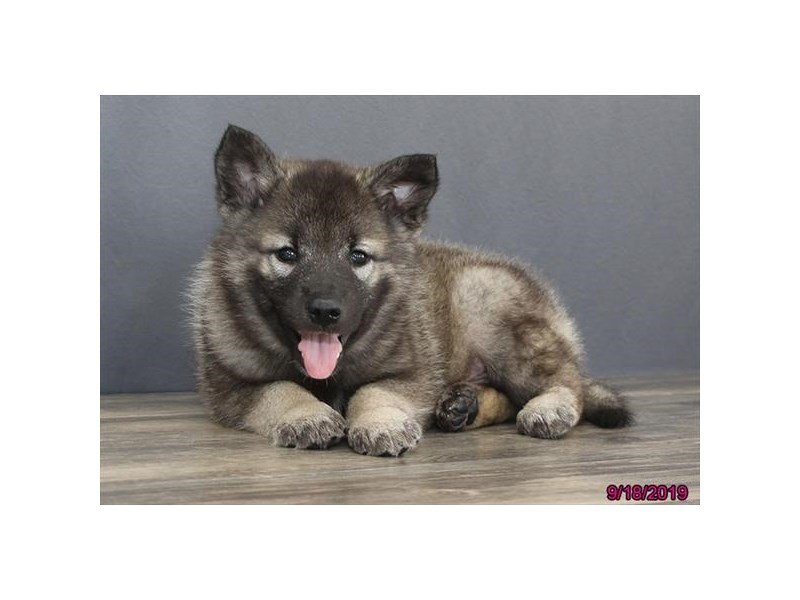 Norwegian Elkhound-Male-Black / Silver-2463980-Petland Lewis Center