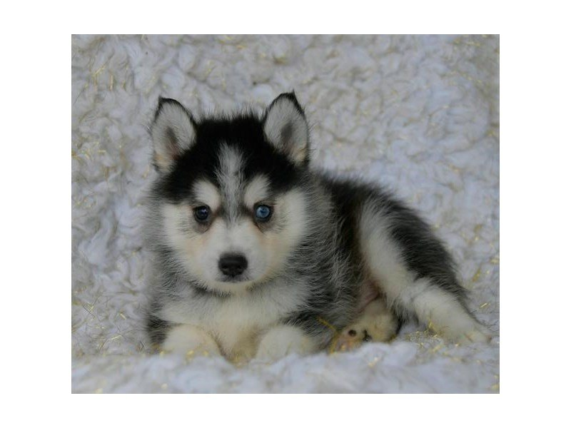 Pomsky-Male-Gray / White-2463988-Petland Lewis Center
