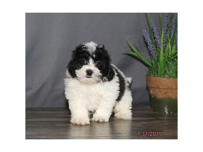 Teddy Bear-Male-Black / White-2421159-Petland Lewis Center