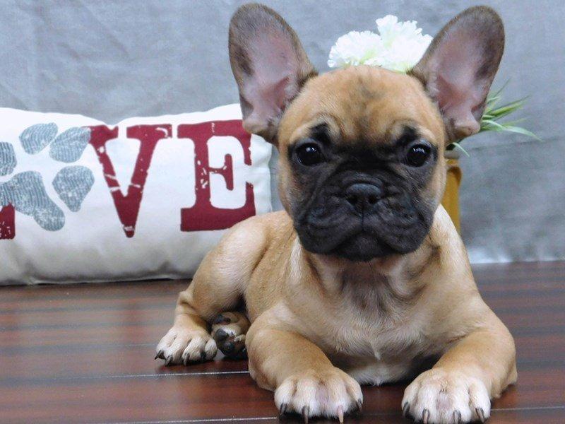 French Bulldog-Male-Fawn-2433289-Petland Lewis Center
