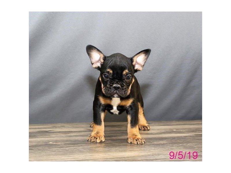 French Bulldog-Male-Black / Tan-2451058-Petland Lewis Center