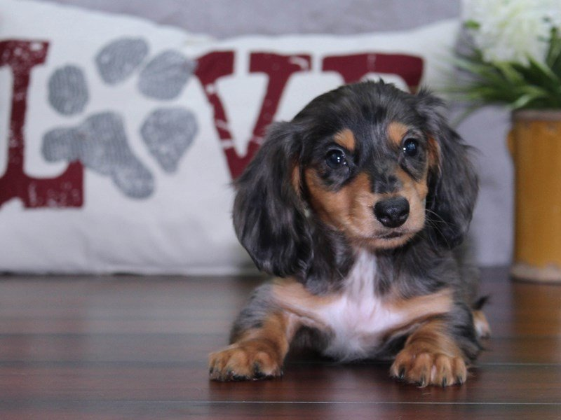 Dachshund-Female-dapple-2457303-Petland Lewis Center