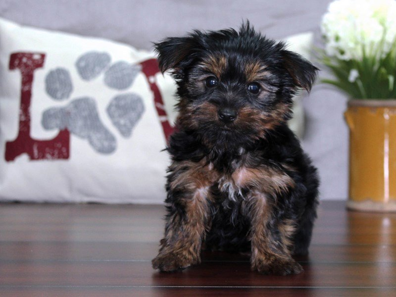 Yorkshire Terrier-Female-Black / Tan-2463977-Petland Lewis Center