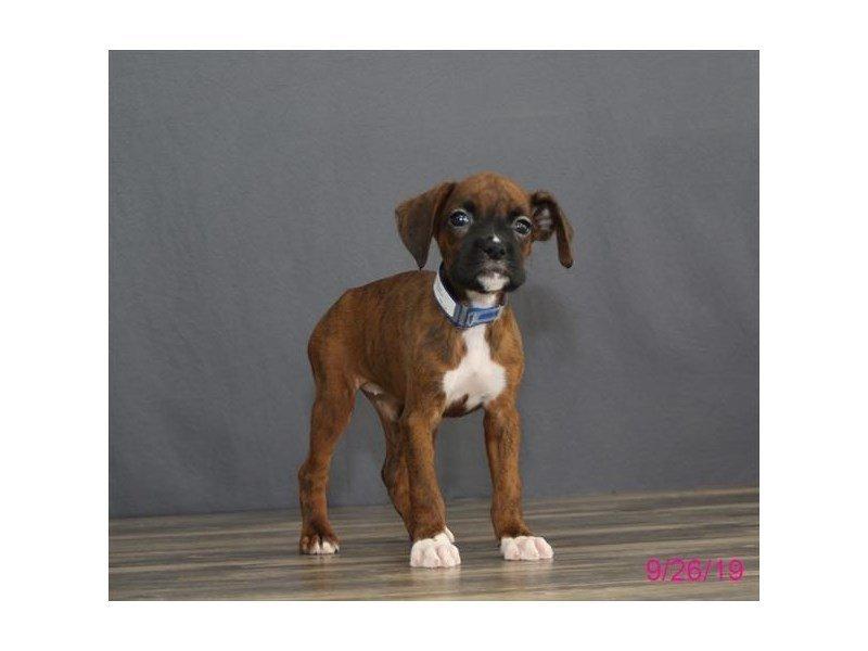 Boxer-Female-Brindle-2469767-Petland Lewis Center