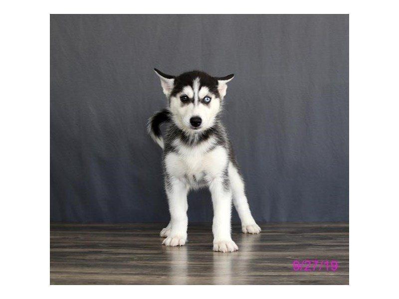Siberian Husky-Female-Black / White-2469768-Petland Lewis Center