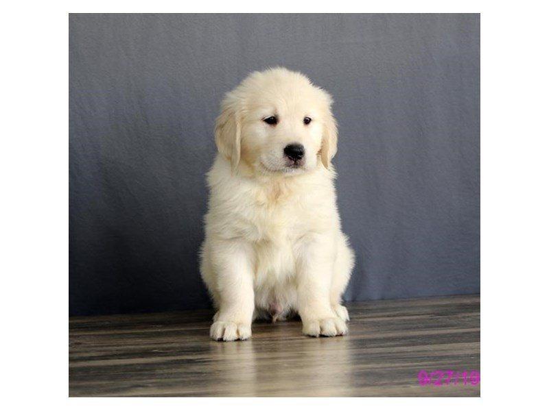 Golden Retriever-Male-Cream-2469851-Petland Lewis Center