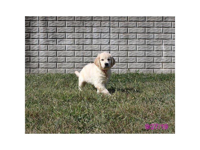 Golden Retriever-Female-Cream-2469852-Petland Lewis Center