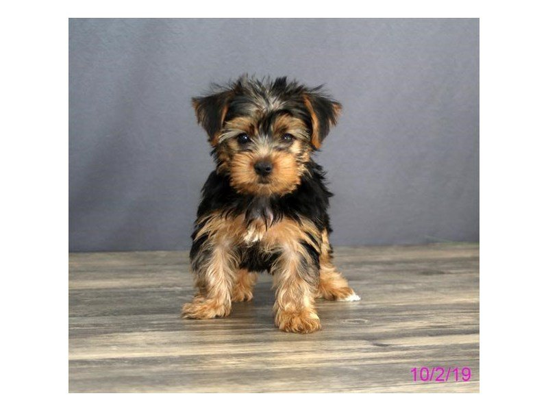 Yorkshire Terrier-Male-Black / Tan-2476517-Petland Lewis Center