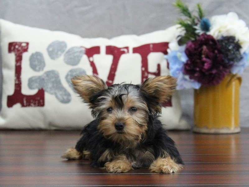 Yorkshire Terrier-Female-BLK TN-2510059-Petland Lewis Center