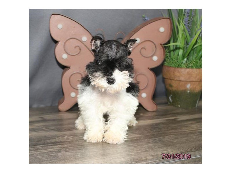 Miniature Schnauzer-Female-Black / White-2421154-Petland Lewis Center