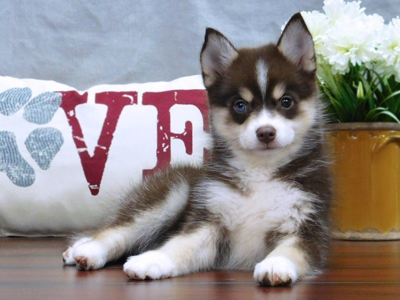 Pomsky-Female-Chocolate-2439353-Petland Lewis Center
