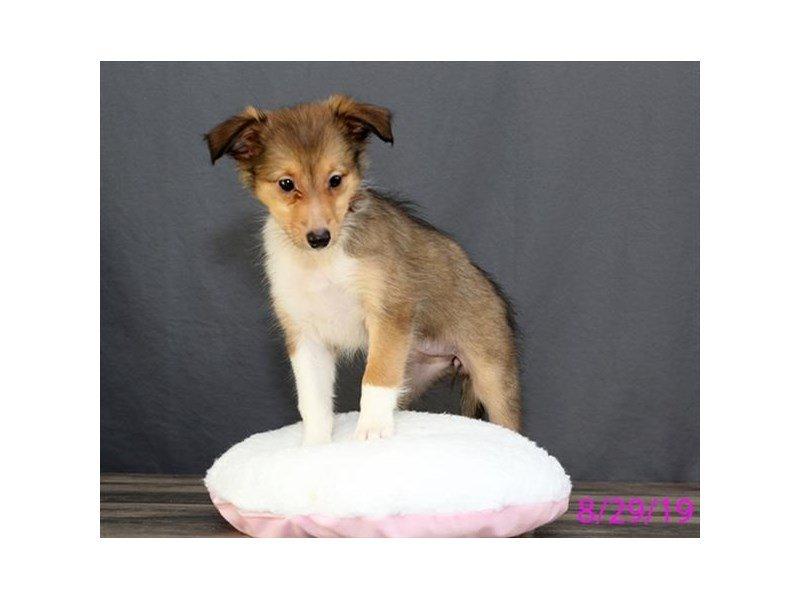 Shetland Sheepdog-Female-Sable / White-2445119-Petland Lewis Center