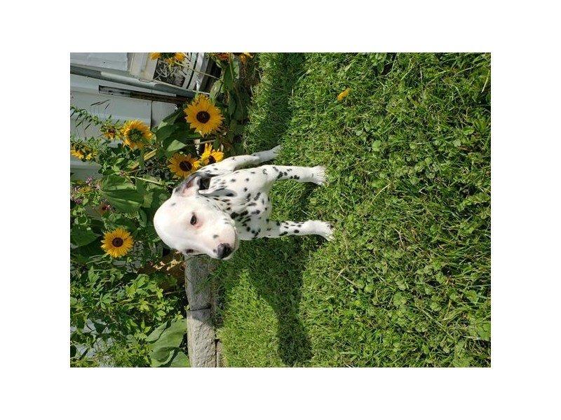 Dalmatian-Female-White / Black-2451064-Petland Lewis Center