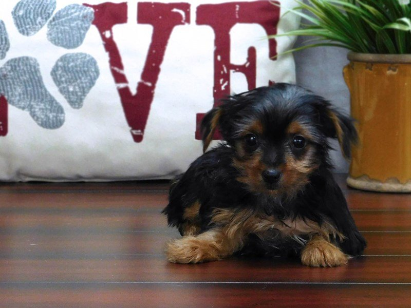 Yorkshire Terrier-Female-Black / Tan-2451060-Petland Lewis Center