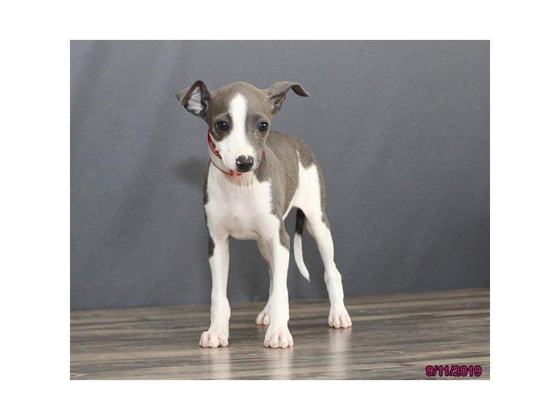 Italian Greyhound-Female-Blue-2457643-Petland Lewis Center