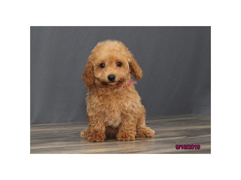 Poodle-Female-Red-2463982-Petland Lewis Center