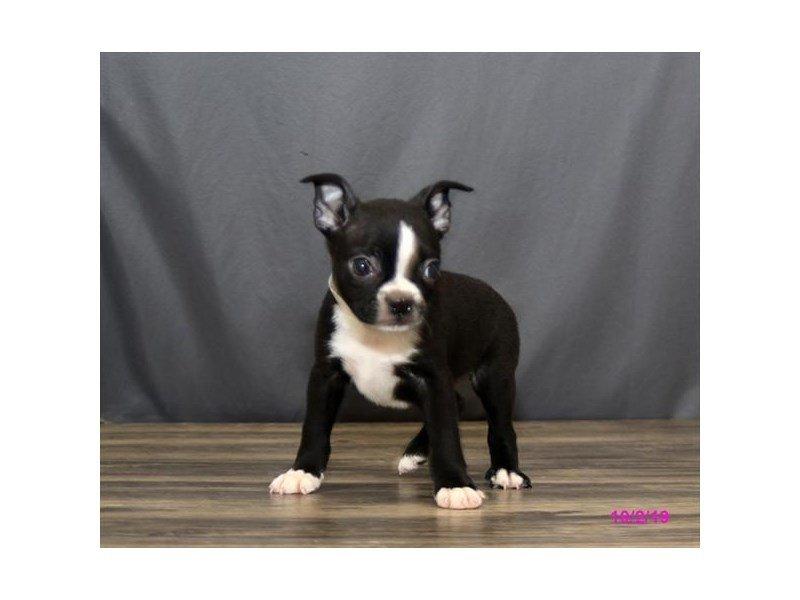 Boston Terrier-Male-Black / White-2476518-Petland Lewis Center
