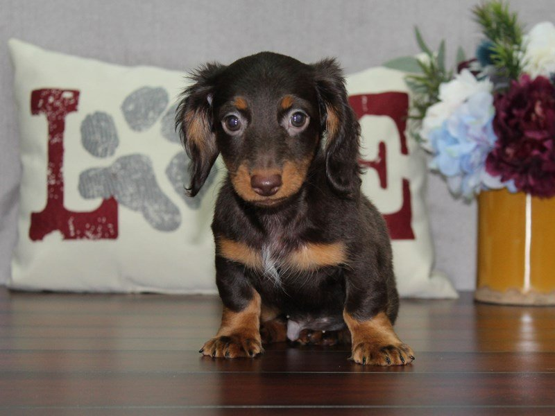 Dachshund-Male-Choc / Tan-2476516-Petland Lewis Center