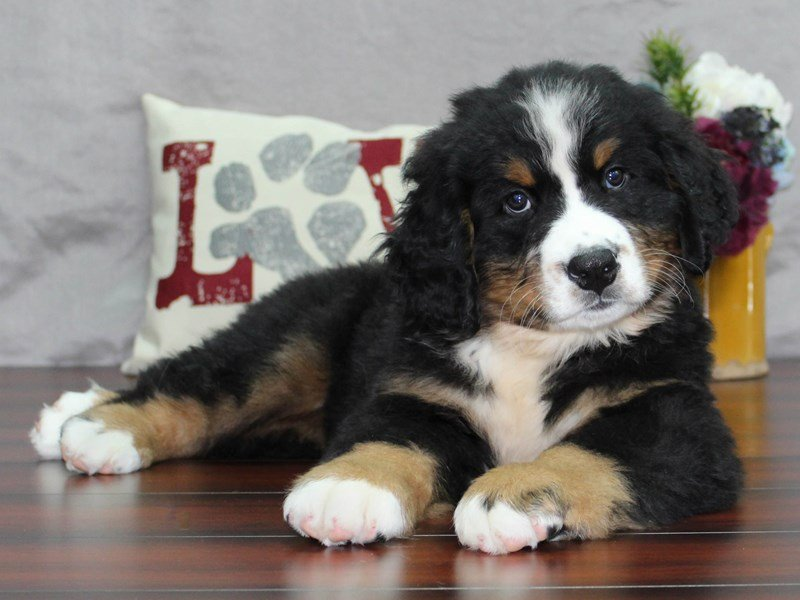 Bernese Mountain Dog-Male-BLK RST WH-2496962-Petland Lewis Center