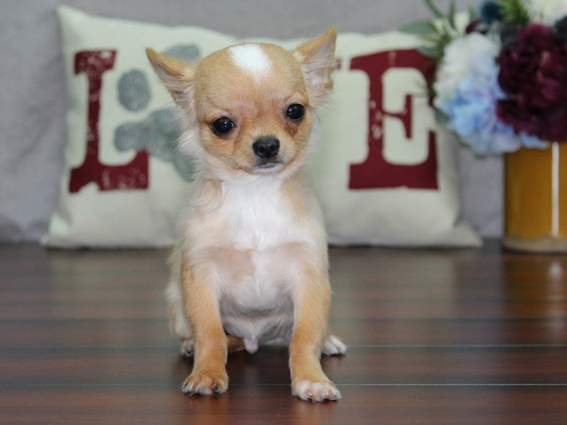Chihuahua-Male-CR, WH MKGS-2496994-Petland Lewis Center