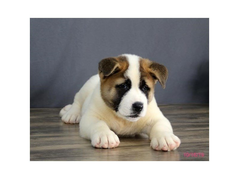 Akita-Male-White / Brown-2503475-Petland Lewis Center