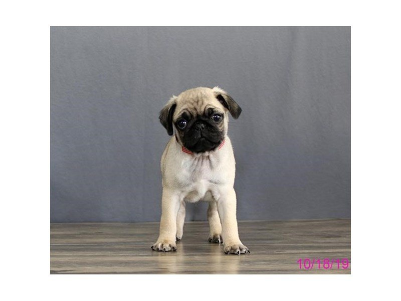 Pug-Male-Fawn-2503498-Petland Lewis Center