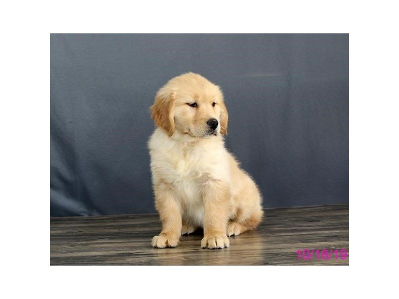 Golden Retriever-Female-Cream-2503522-Petland Lewis Center