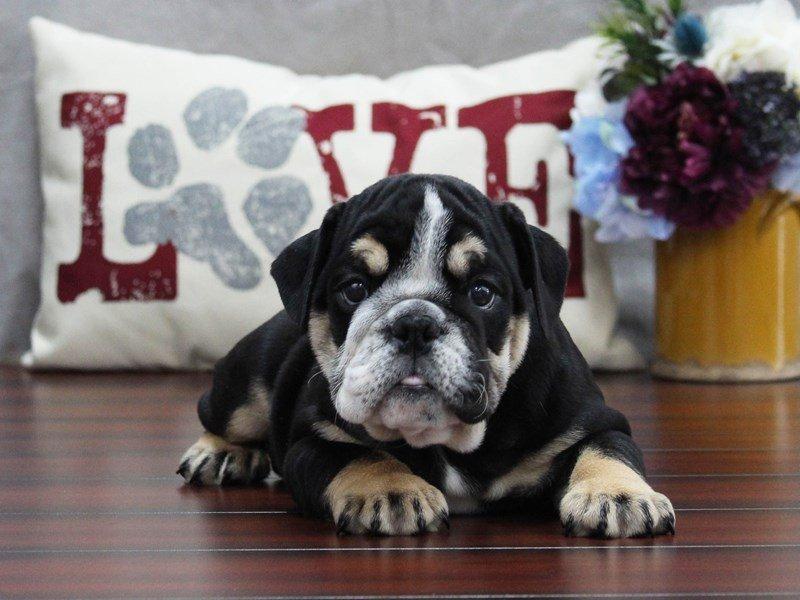 English Bulldog-Male-Blk Tn, Wh mkgs-2509992-Petland Lewis Center