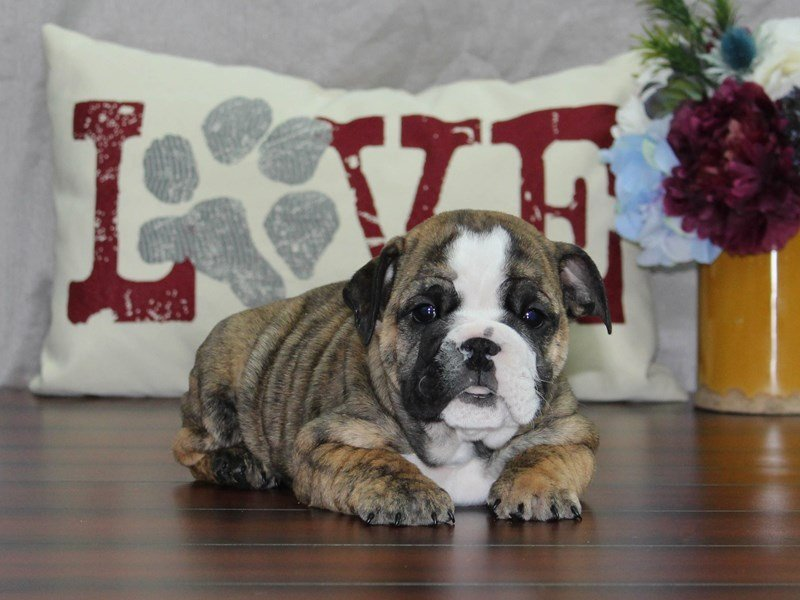 English Bulldog-Female-brdl wh-2510001-Petland Lewis Center