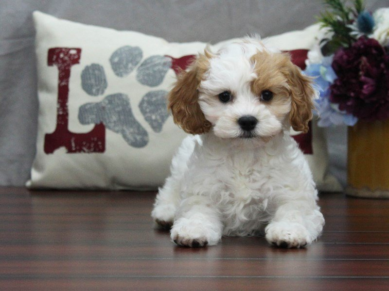 Male Brown Cavapoo Puppy Gallery - Petland Lewis Center