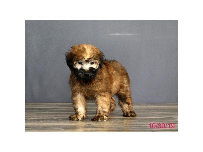 Soft Coated Wheaten Terrier-Female-Wheaten-2516792-Petland Lewis Center