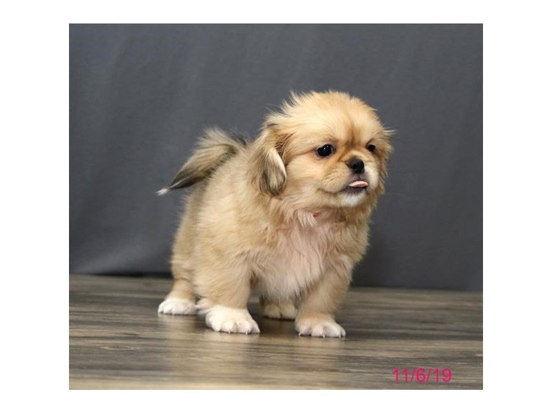 Pekingese-Female-Fawn-2523580-Petland Lewis Center