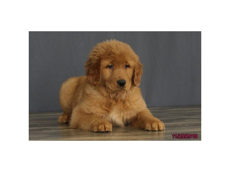 Golden Retriever-Female-Golden-2537821-Petland Lewis Center