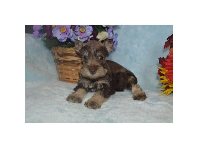 Miniature Schnauzer-Female-Chocolate / Tan-2537831-Petland Lewis Center
