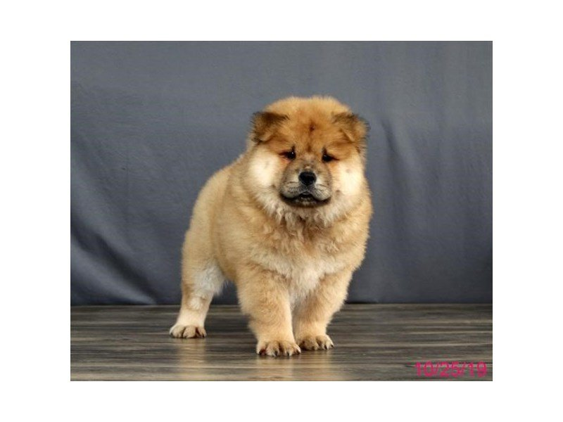 Chow Chow-Female-Red-2509862-Petland Lewis Center