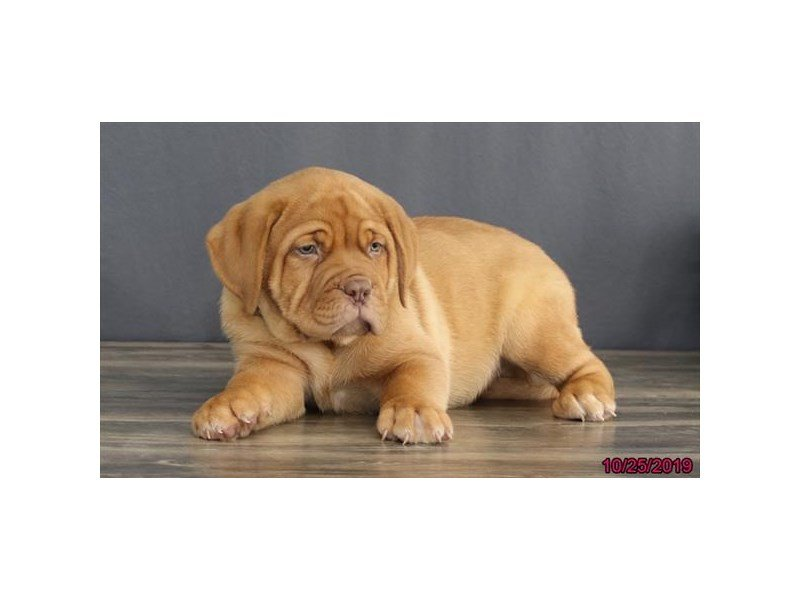 Dogue De Bordeaux-Male-Red-2509877-Petland Lewis Center