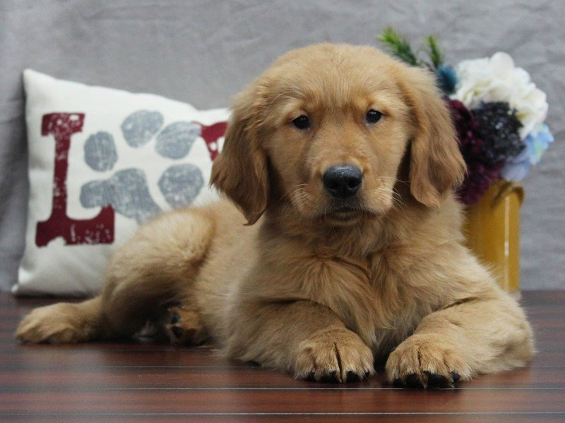 Golden Retriever-Male-GLDN-2510028-Petland Lewis Center