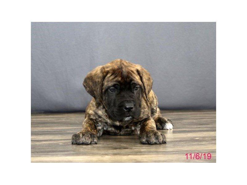 English Mastiff-Male-Brindle-2523571-Petland Lewis Center