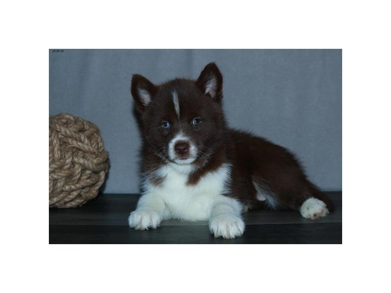 Pomsky-Female-Chocolate / White-2523574-Petland Lewis Center