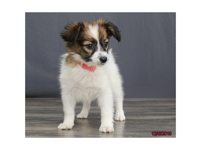 Papillon-Female-Red / White-2553880-Petland Lewis Center