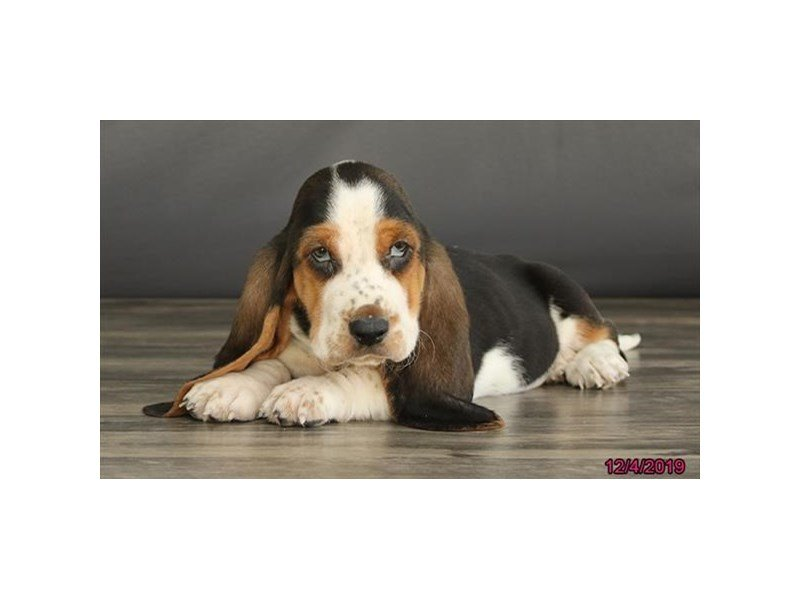 Basset Hound-Male-Tri-Colored-2553884-Petland Lewis Center