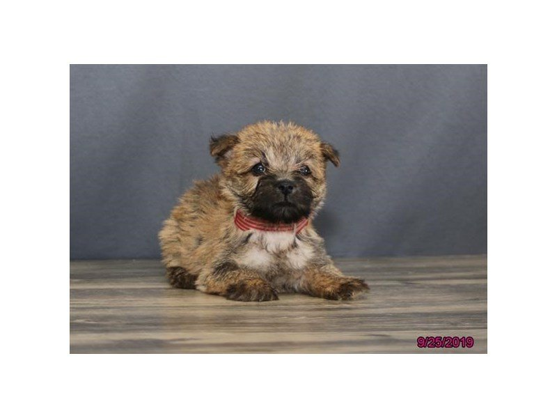 Cairn Terrier-Female-Wheaten-2503476-Petland Lewis Center