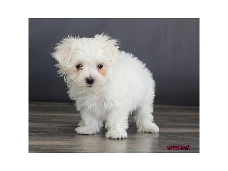 Maltese-Female-White-2553871-Petland Lewis Center