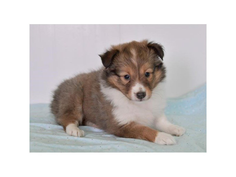 Shetland Sheepdog-Female-Sable Merle-2561380-Petland Lewis Center