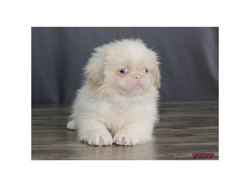 Pekingese-DOG-Female-Cream / White-2588771-Petland Lewis Center