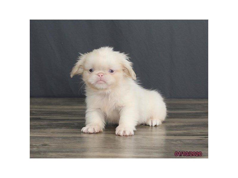 Pekingese-Male-Cream / White-2588774-Petland Lewis Center