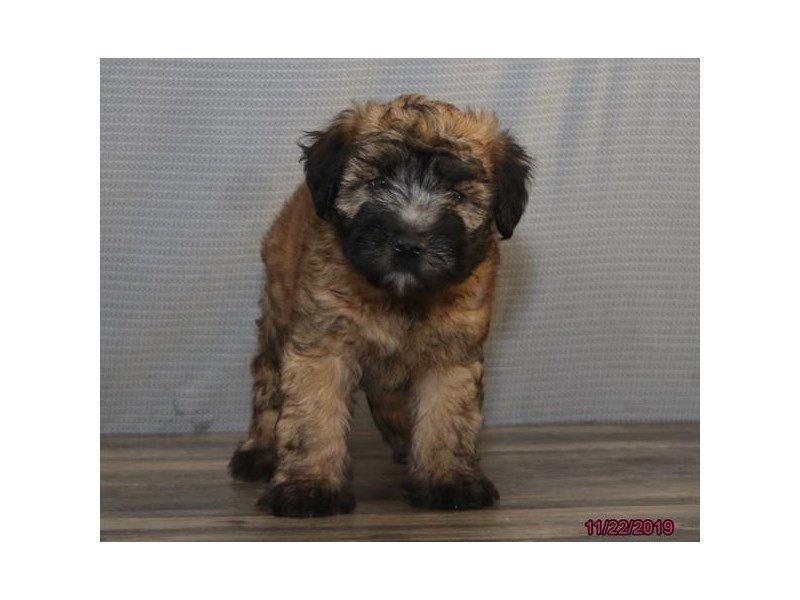 Soft Coated Wheaten Terrier-Male-Wheaten-2553889-Petland Lewis Center